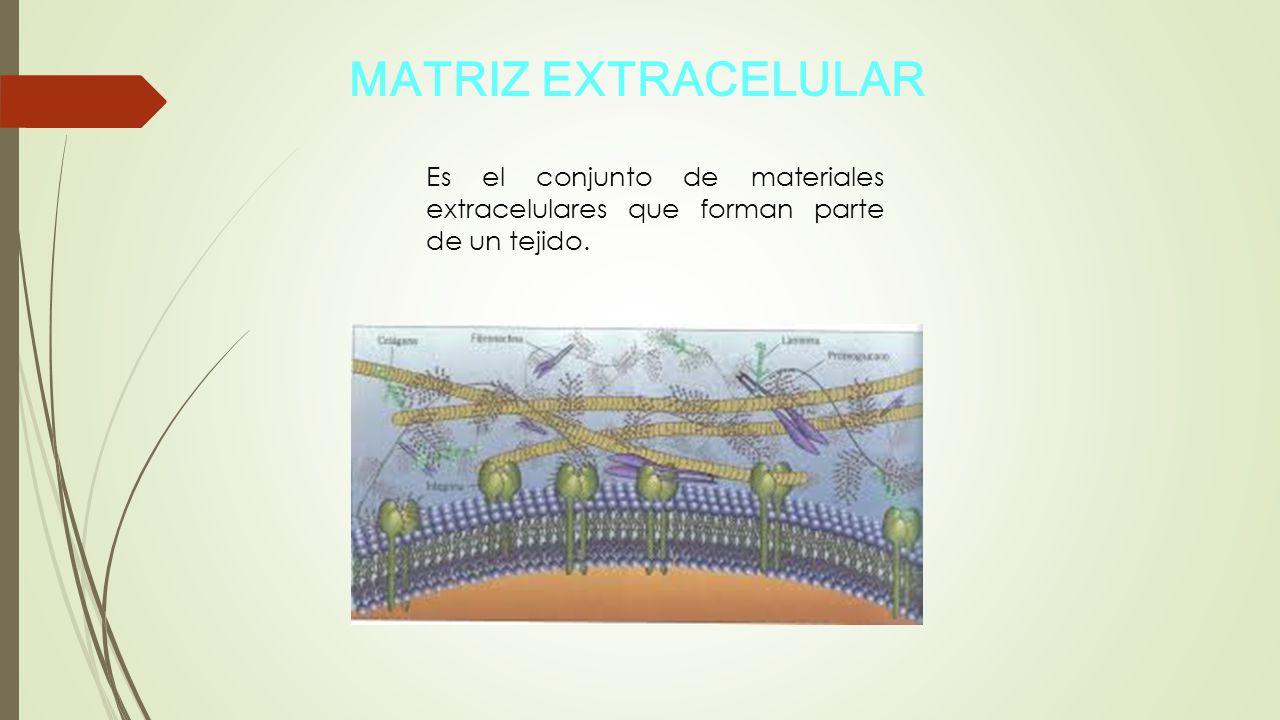 MATRIZ EXTRACELULAR Es el conjunto de materiales extracelulares que forman parte de un tejido.