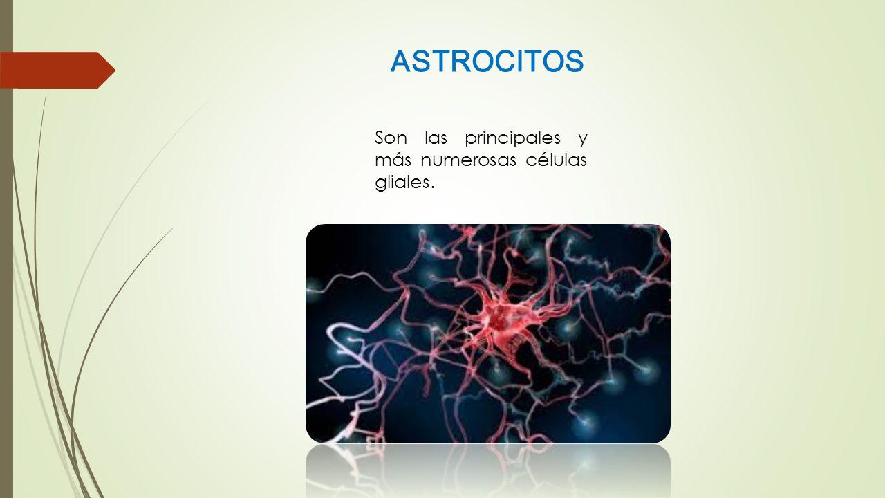 ASTROCITOS Son las principales y más numerosas células gliales.