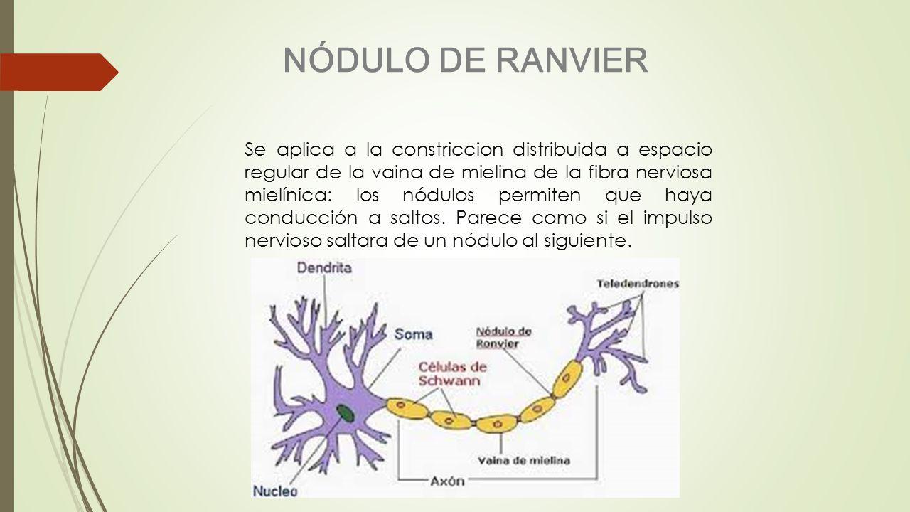 NÓDULO DE RANVIER