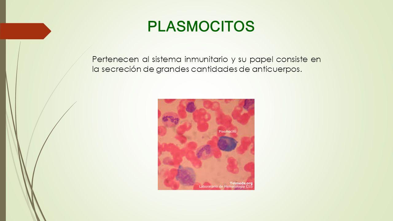 PLASMOCITOS Pertenecen al sistema inmunitario y su papel consiste en la secreción de grandes cantidades de anticuerpos.