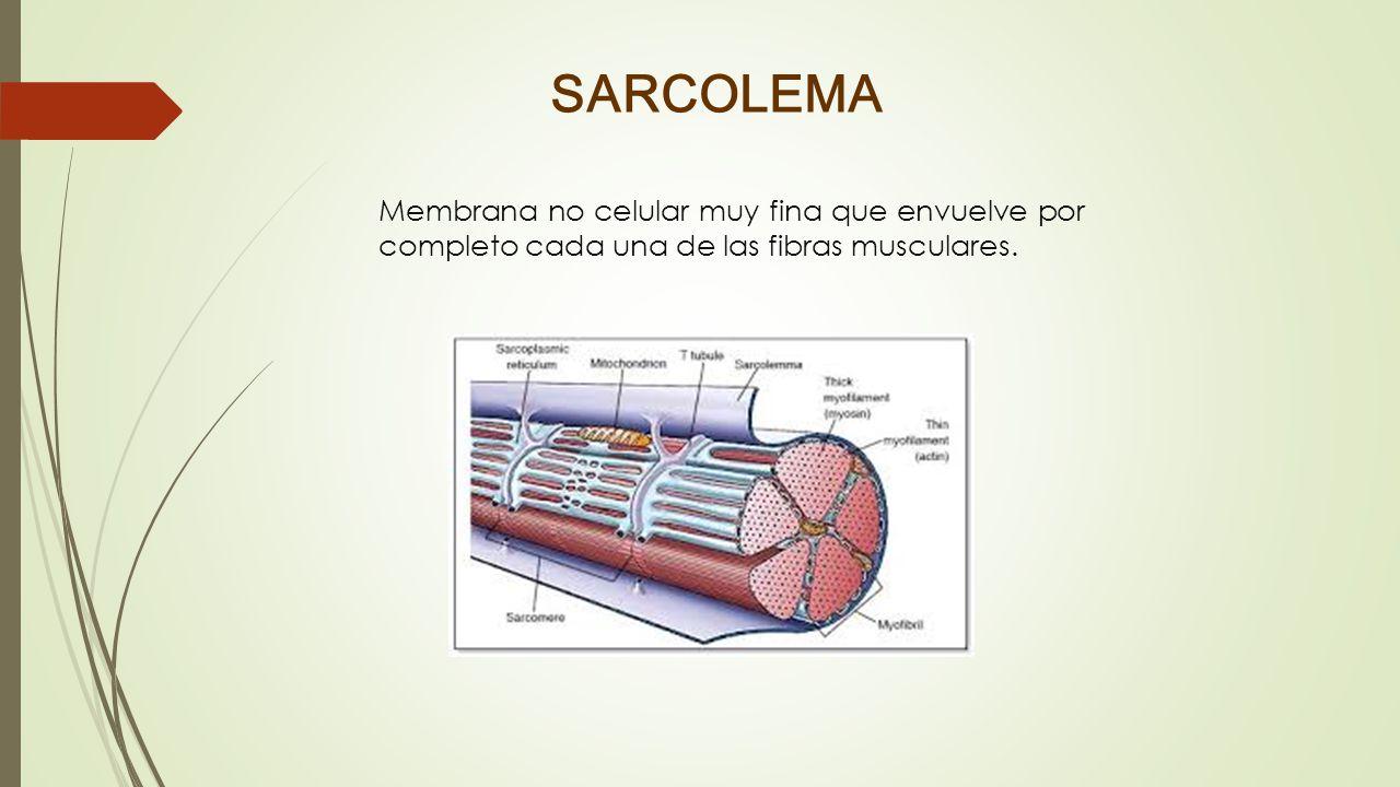 SARCOLEMA Membrana no celular muy fina que envuelve por completo cada una de las fibras musculares.
