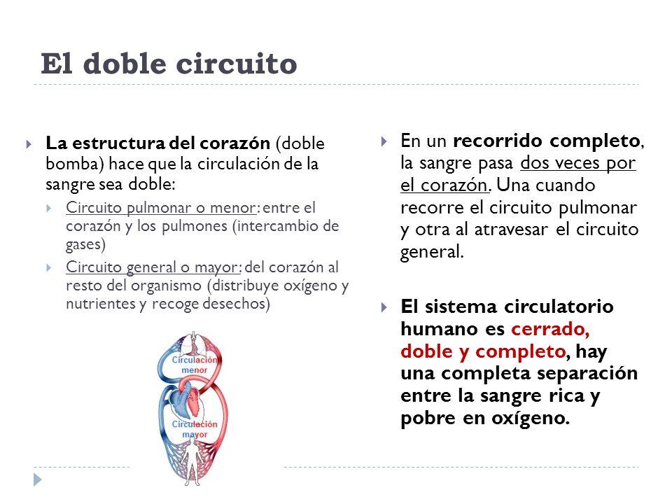 Circuito Que Realiza La Sangre : El aparato circulatorio ppt video online descargar