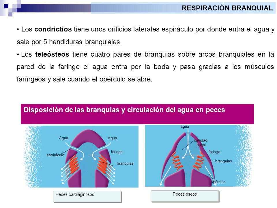 Fisiolog a animal la respiraci n ppt video online descargar for Mampara fija se sale el agua