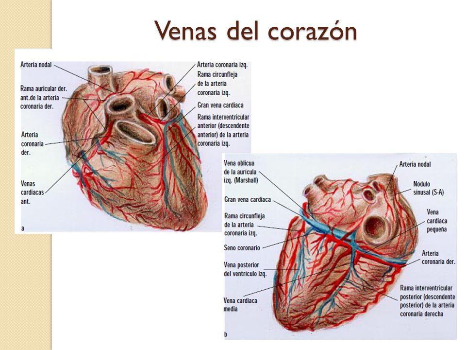 Lujoso Anatomía Vena Cardíaca Motivo - Anatomía de Las Imágenesdel ...
