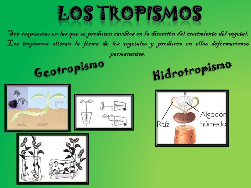 Los tropismos Geotropismo Hidrotropismo