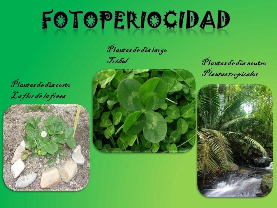 fotoperiocidad Plantas de día largo Trébol