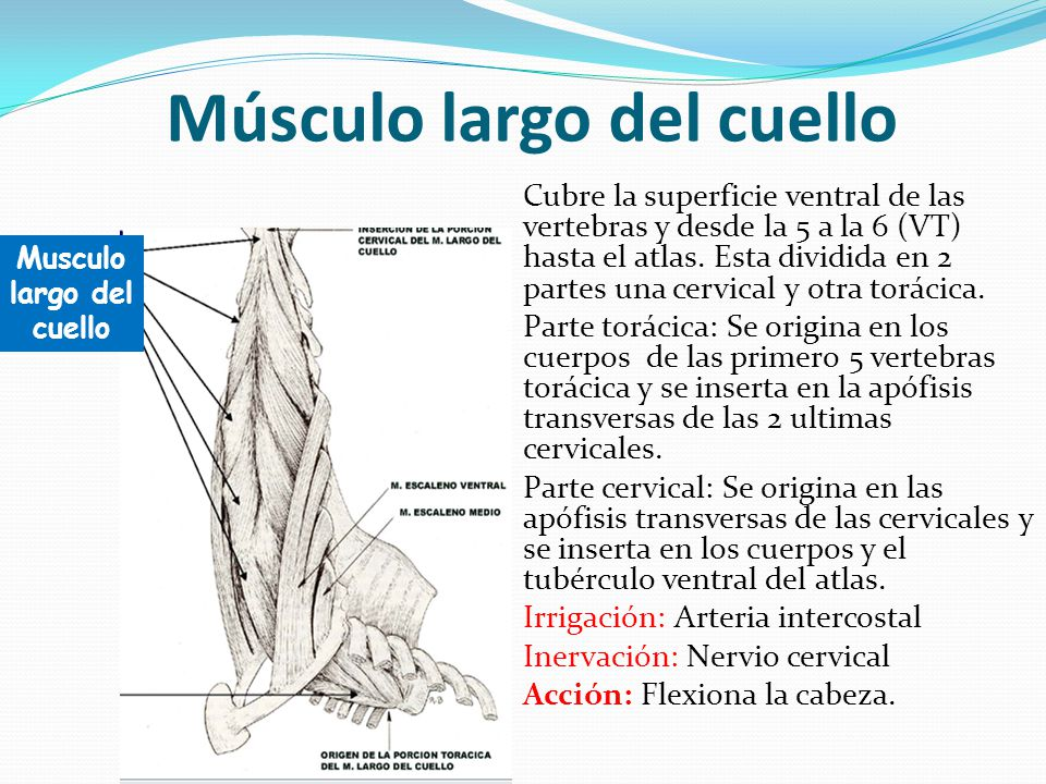 Atractivo Músculo Más Largo Del Cuerpo Molde - Imágenes de Anatomía ...