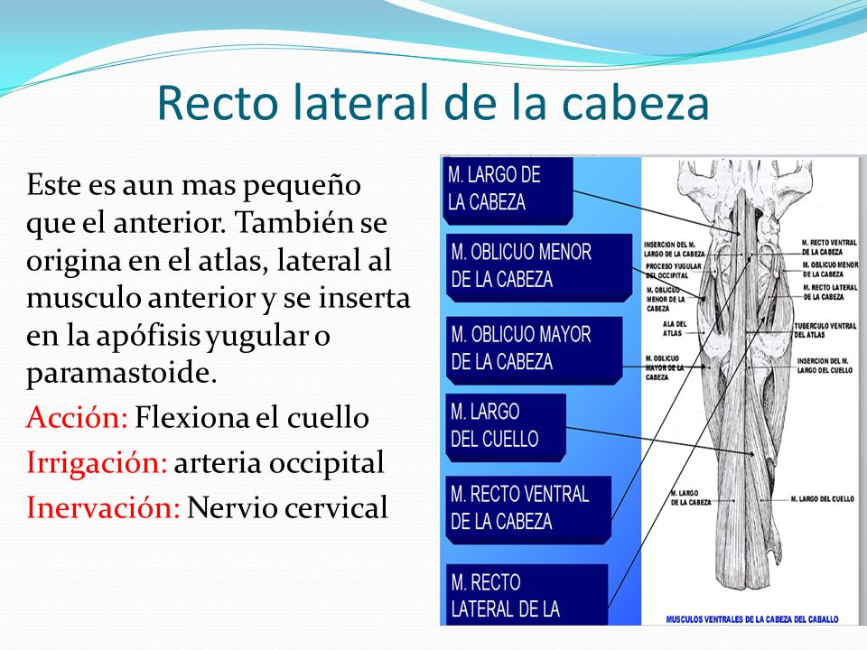 Perfecto Recto Lateral Ornamento - Anatomía de Las Imágenesdel ...