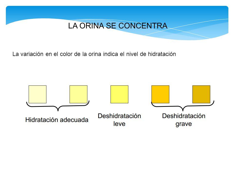 LA ORINA SE CONCENTRA La variación en el color de la orina indica el nivel de hidratación