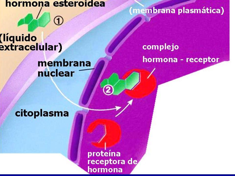 Hormonas esteroideas lipo-solubles