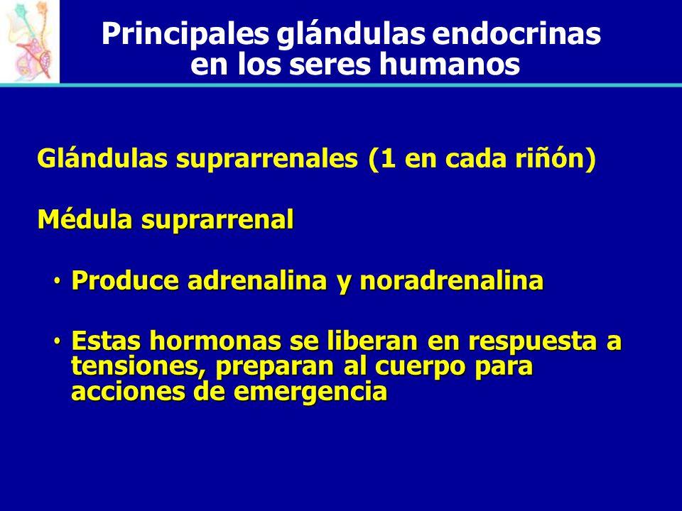 Principales glándulas endocrinas en los seres humanos