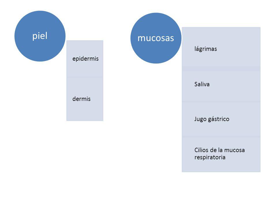 piel mucosas lágrimas epidermis Saliva dermis Jugo gástrico