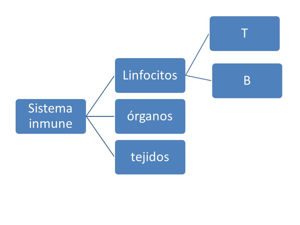 Sistema inmune Linfocitos T B órganos tejidos