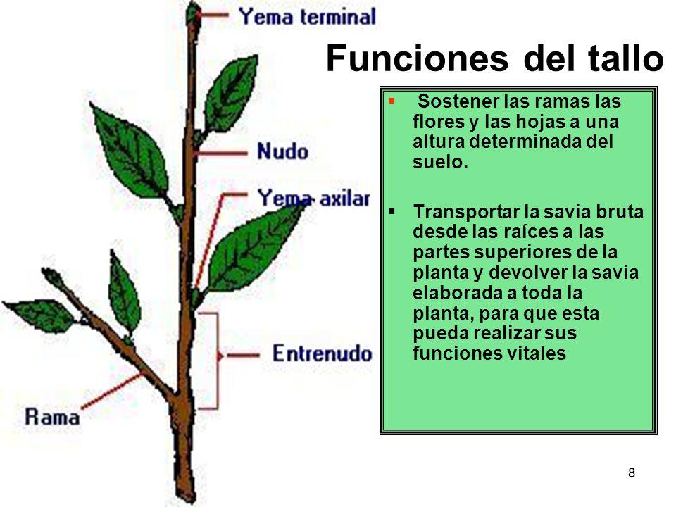 Famoso Anatomía Del Tallo De La Planta Modelo - Anatomía de Las ...