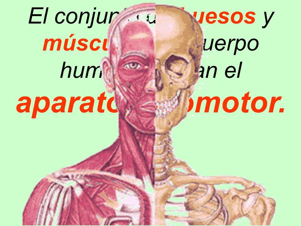 El conjunto de huesos y músculos del cuerpo humano forman el - ppt ...