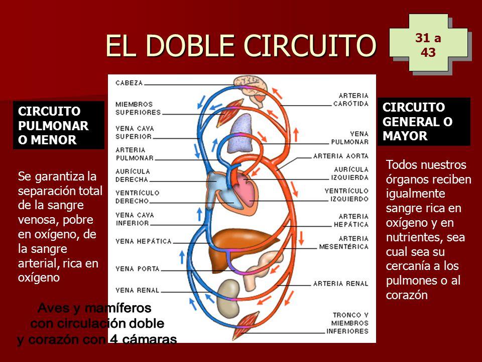 Circuito General : El aparato circulatorio ppt descargar