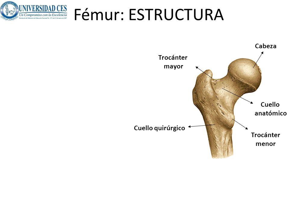 Atractivo Anatomía Del Cuello Del Fémur Motivo - Imágenes de ...