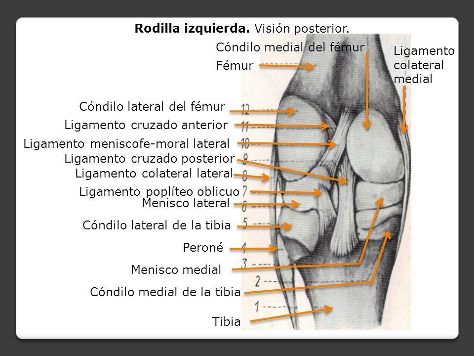 Excelente Anatomía Ligamento Cruzado Elaboración - Anatomía de Las ...