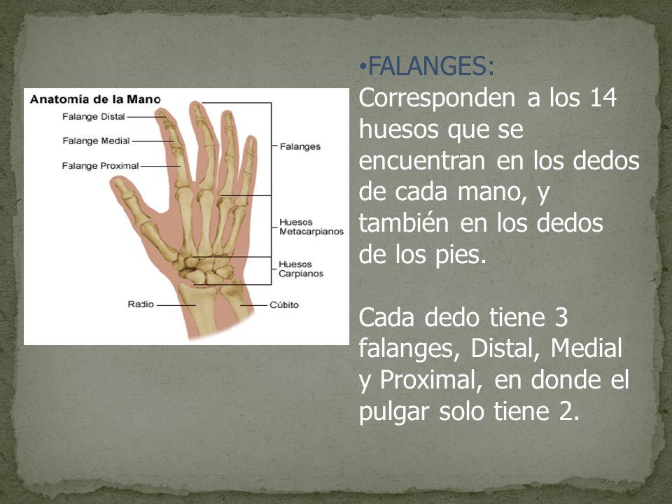 Famoso Huesos De La Anatomía Del Pulgar Motivo - Imágenes de ...
