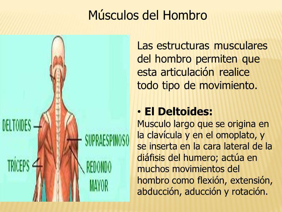 Increíble Fotos De Los Músculos Del Hombro Ornamento - Anatomía de ...