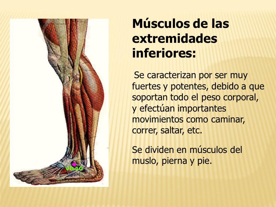 Famoso Menores Músculos De Las Piernas Anatomía Molde - Imágenes de ...