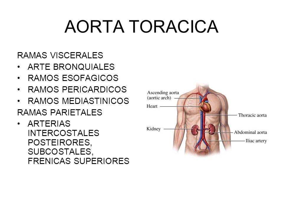 Magnífico Ramas Aorta Anatomía Componente - Imágenes de Anatomía ...
