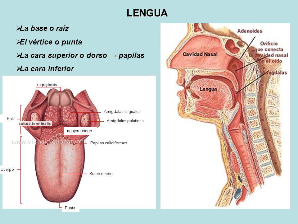Dorable Anatomía De Amígdalas Y Adenoides Foto - Anatomía de Las ...