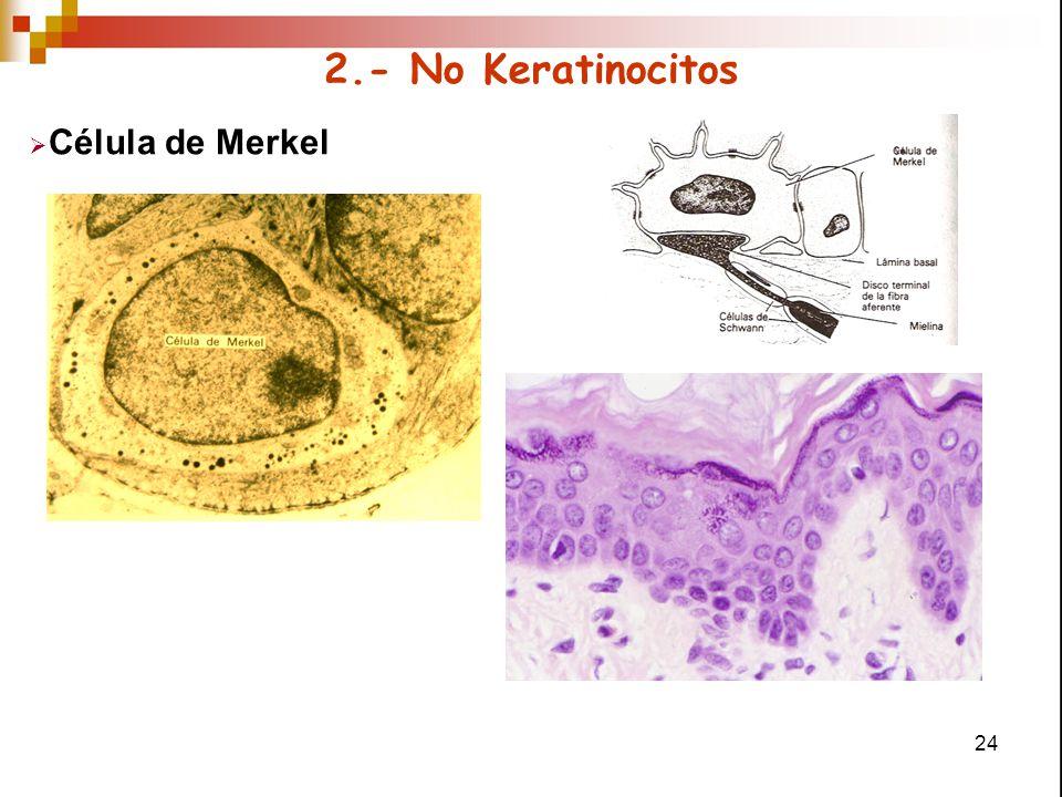 2.- No Keratinocitos Célula de Merkel