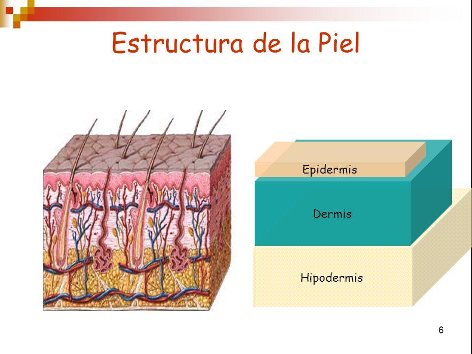 Estructura de la Piel Epidermis Dermis Hipodermis