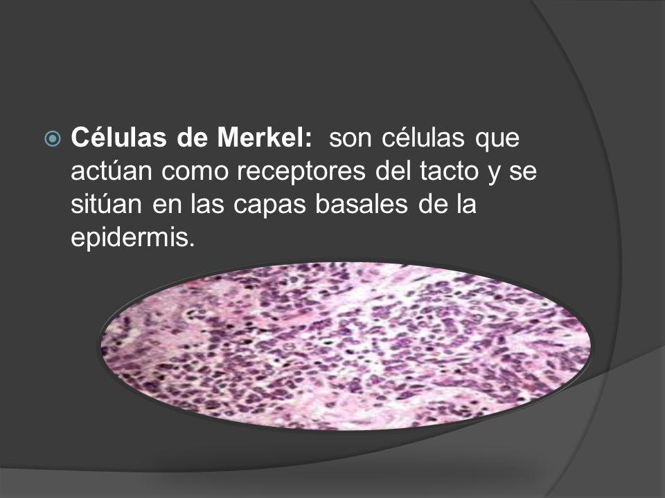 Células de Merkel: son células que actúan como receptores del tacto y se sitúan en las capas basales de la epidermis.