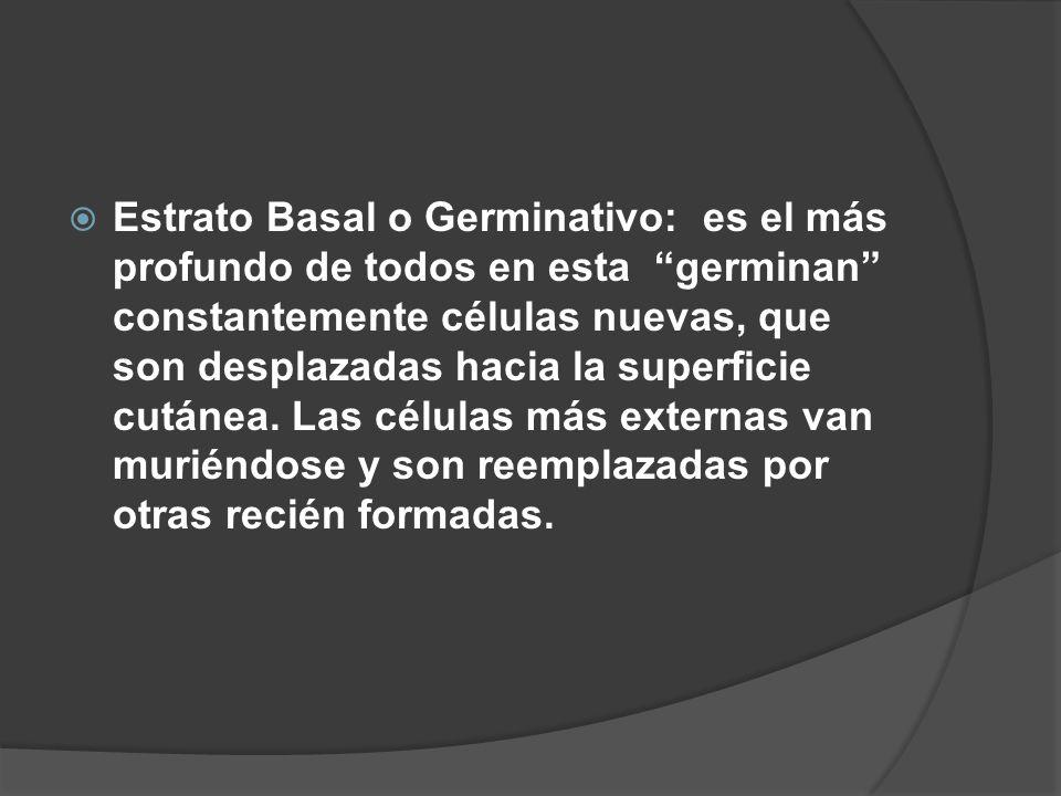 Estrato Basal o Germinativo: es el más profundo de todos en esta germinan constantemente células nuevas, que son desplazadas hacia la superficie cutánea.