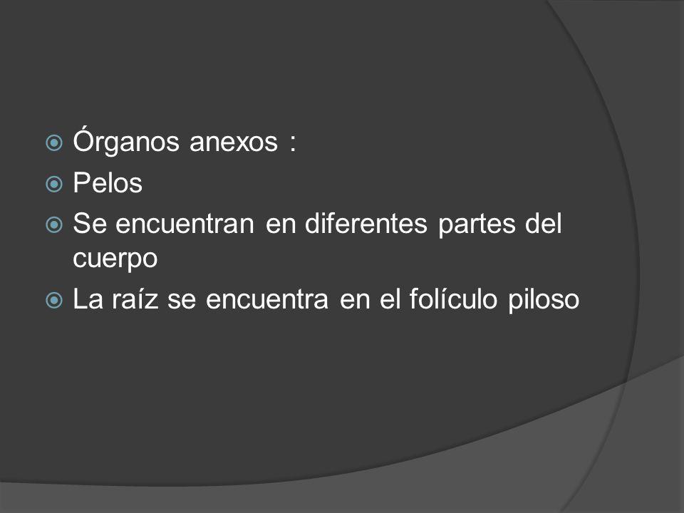 Órganos anexos : Pelos. Se encuentran en diferentes partes del cuerpo.