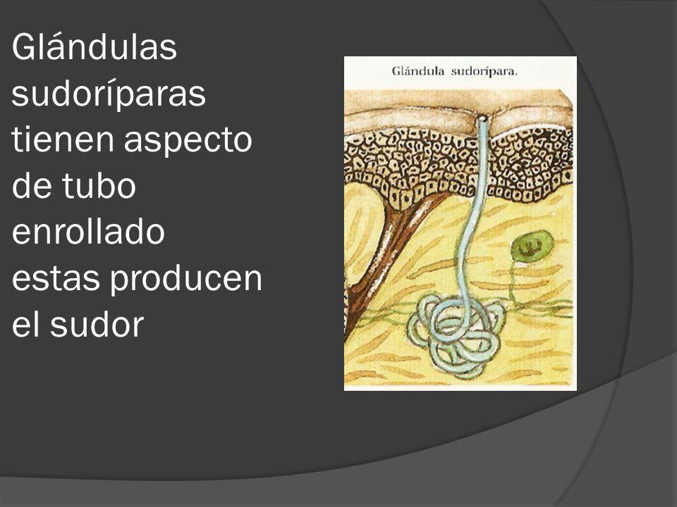 Glándulas sudoríparas tienen aspecto de tubo enrollado estas producen el sudor