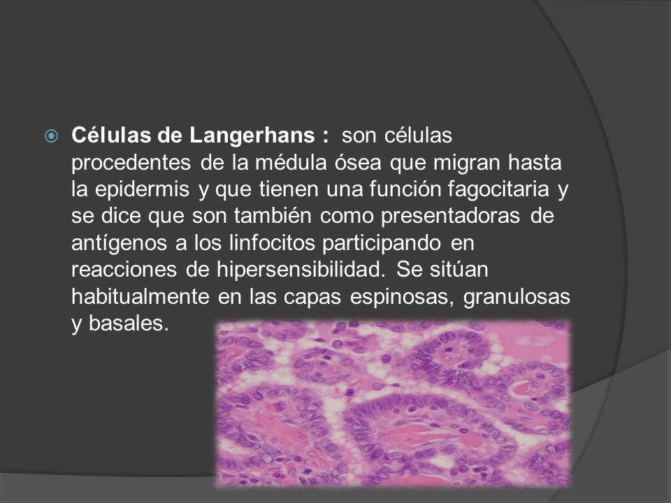 Células de Langerhans : son células procedentes de la médula ósea que migran hasta la epidermis y que tienen una función fagocitaria y se dice que son también como presentadoras de antígenos a los linfocitos participando en reacciones de hipersensibilidad.