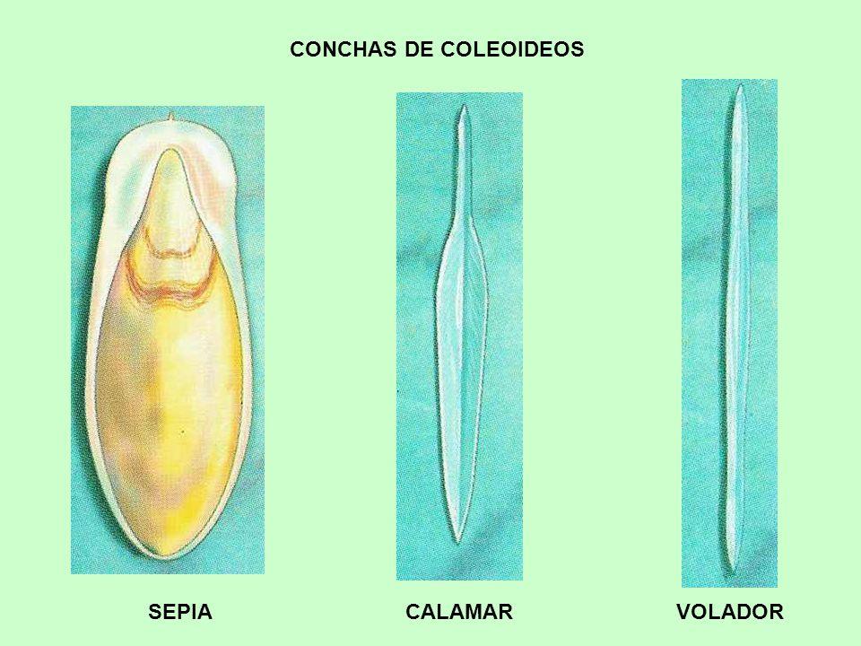 Vistoso Anatomía De Una Sepia Fotos - Anatomía de Las Imágenesdel ...