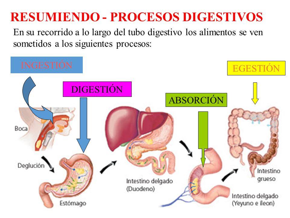 Lujo Proceso De Digestión Adorno - Anatomía de Las Imágenesdel ...