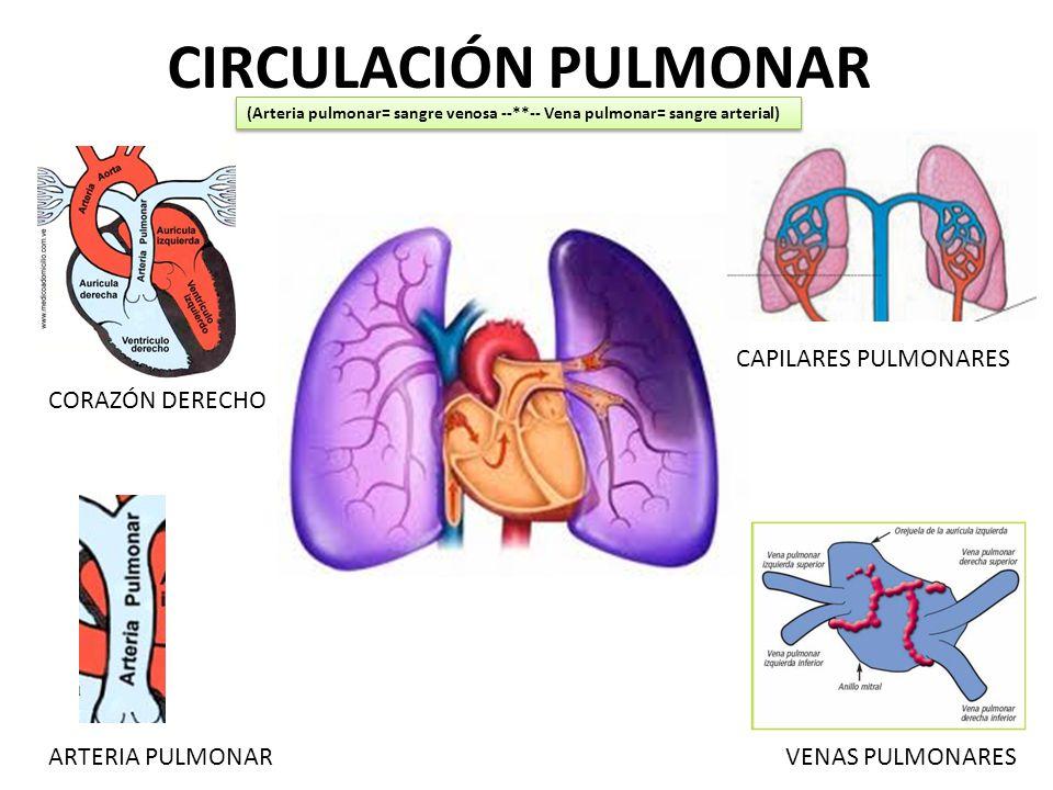 Perfecto Anatomía De La Circulación Pulmonar Colección - Imágenes de ...