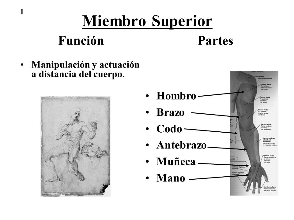 Miembro Superior Función Partes Hombro Brazo Codo Antebrazo Muñeca ...