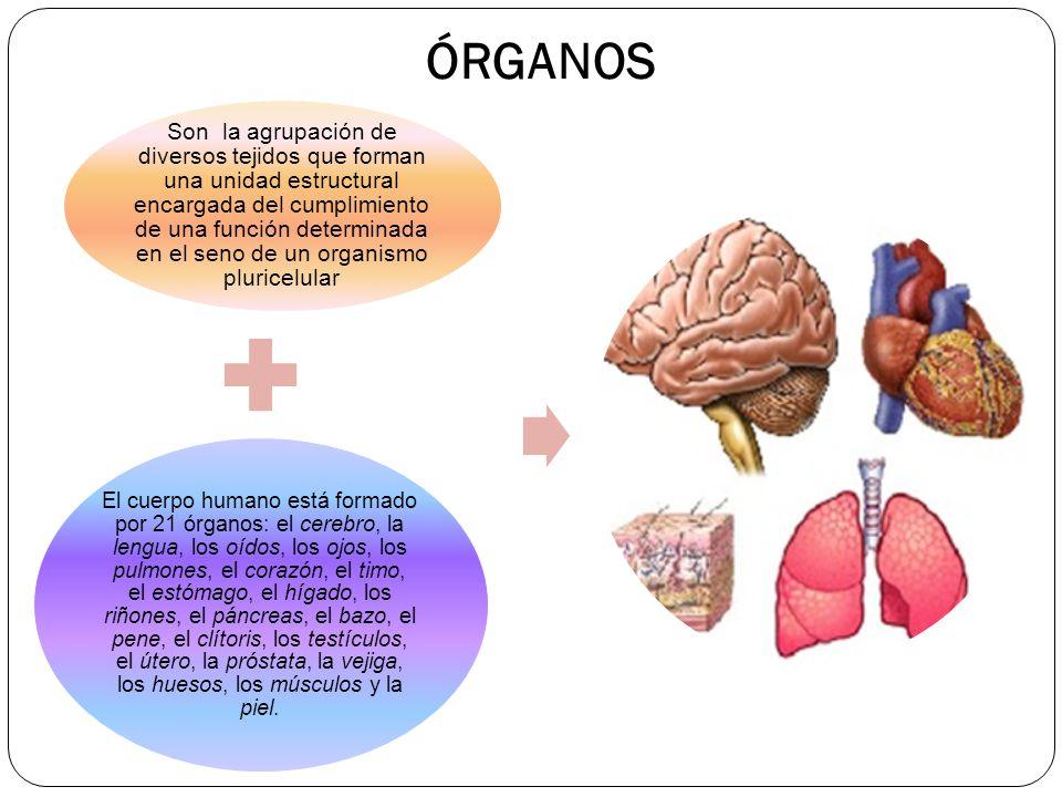 Atractivo Anatomía De Los Pulmones Y El Corazón Colección - Imágenes ...