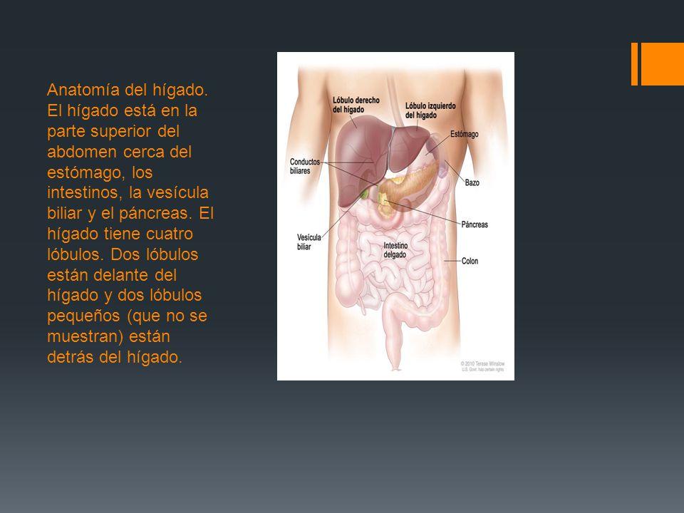 Bonito Lóbulos De La Próstata Anatomía Foto - Imágenes de Anatomía ...