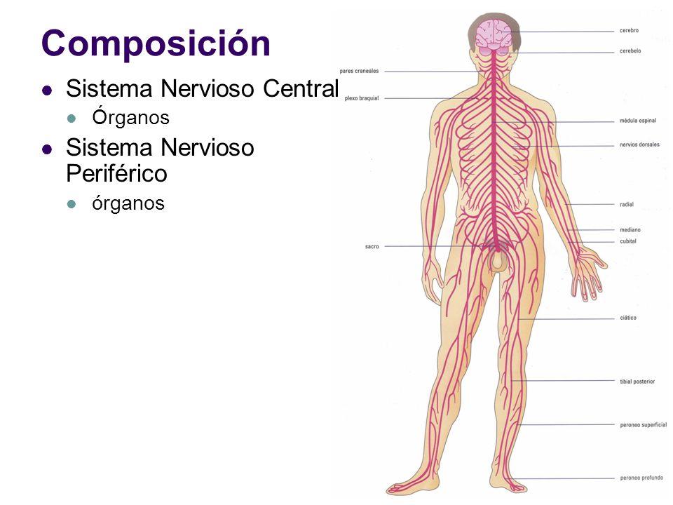 Lujo Sistema Nervioso Central Y Periférico Adorno - Anatomía de Las ...