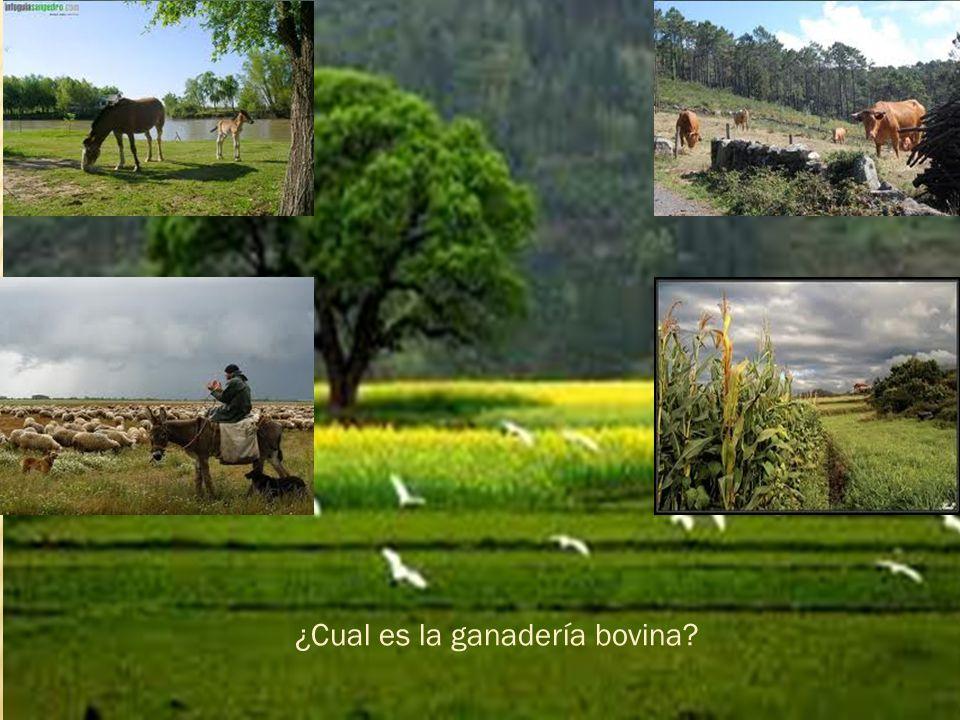 ¿Cual es la ganadería bovina