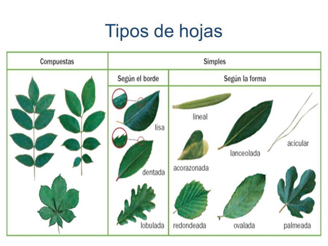 Alumnos de 1 eso b y 1 eso c ppt descargar for Tipos de hojas ornamentales