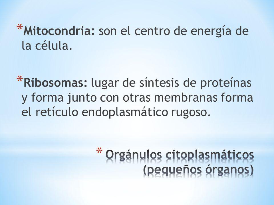 Orgánulos citoplasmáticos (pequeños órganos)