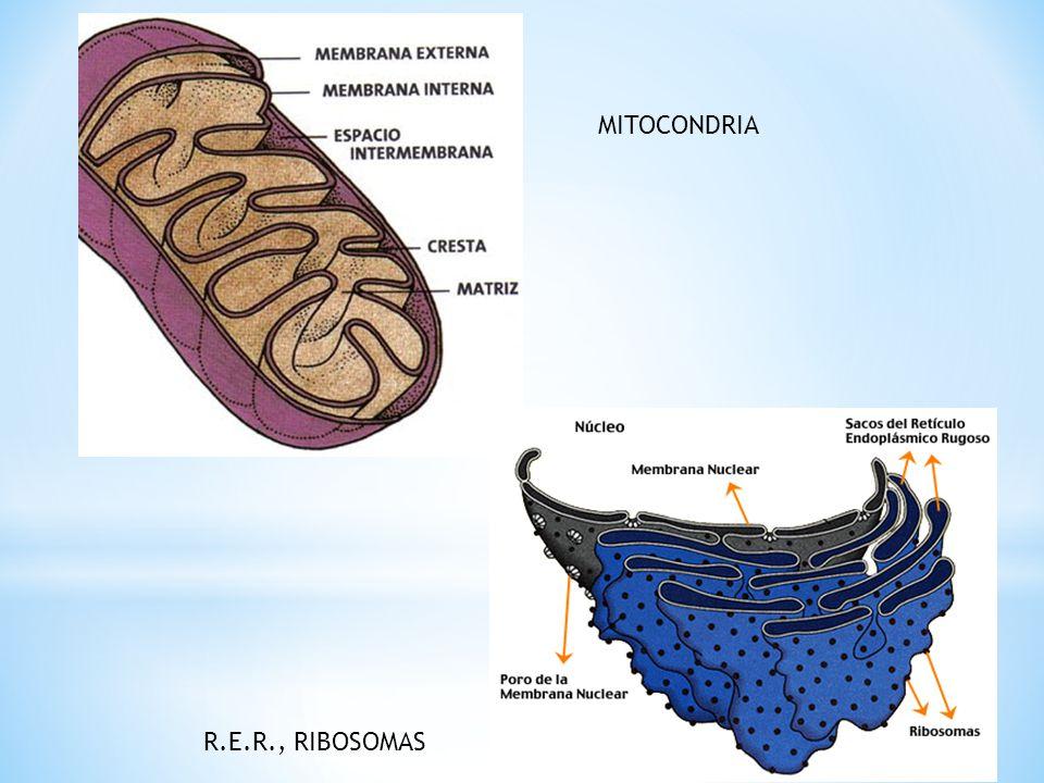 MITOCONDRIA R.E.R., RIBOSOMAS