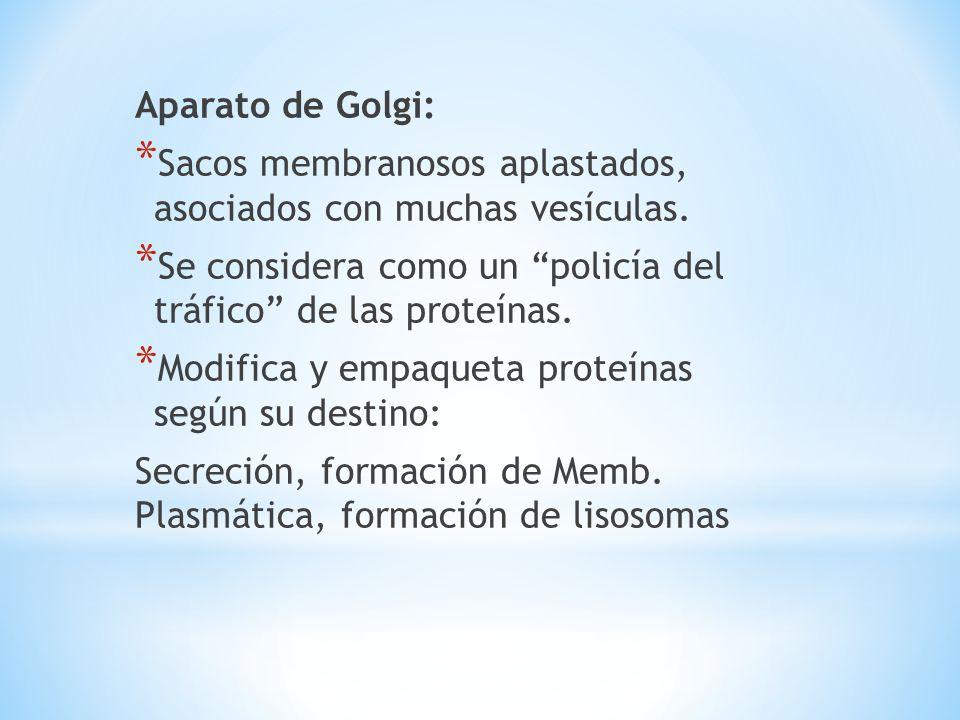 Aparato de Golgi: Sacos membranosos aplastados, asociados con muchas vesículas. Se considera como un policía del tráfico de las proteínas.