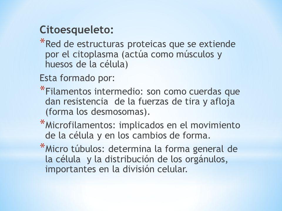 Citoesqueleto: Red de estructuras proteicas que se extiende por el citoplasma (actúa como músculos y huesos de la célula)