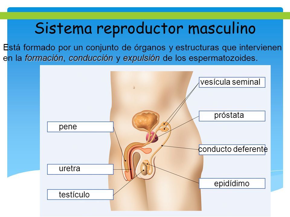 Sistema reproductor masculino - ppt video online descargar