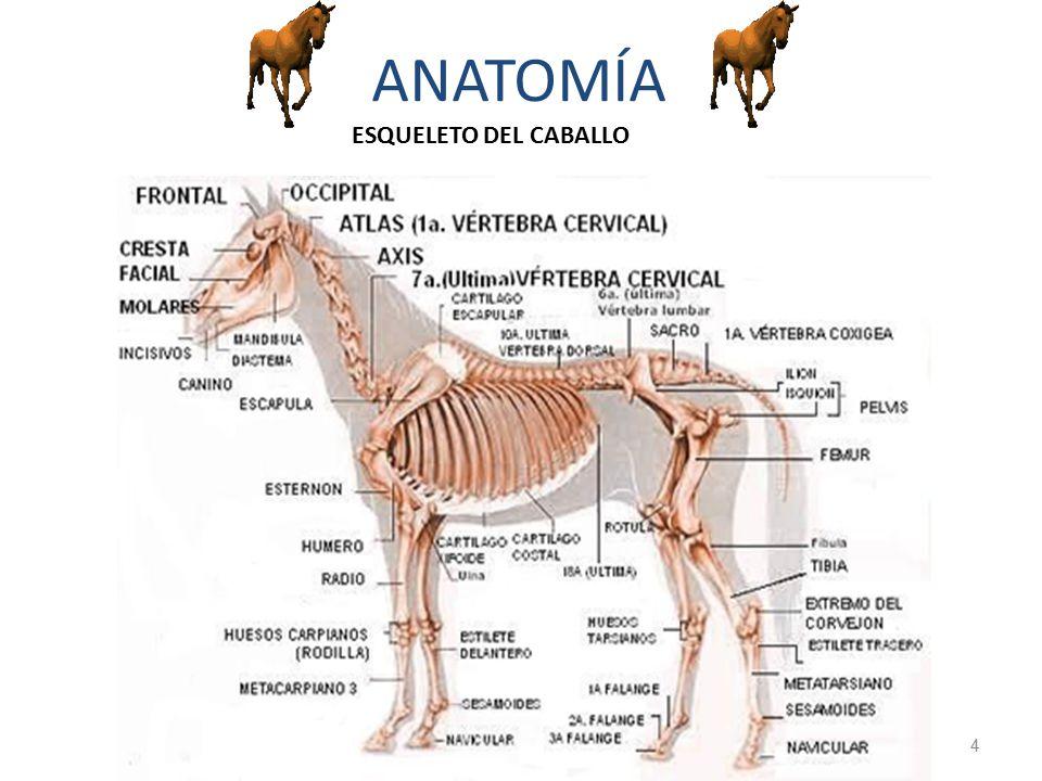 Increíble Anatomía Básica Del Caballo Ideas - Anatomía de Las ...