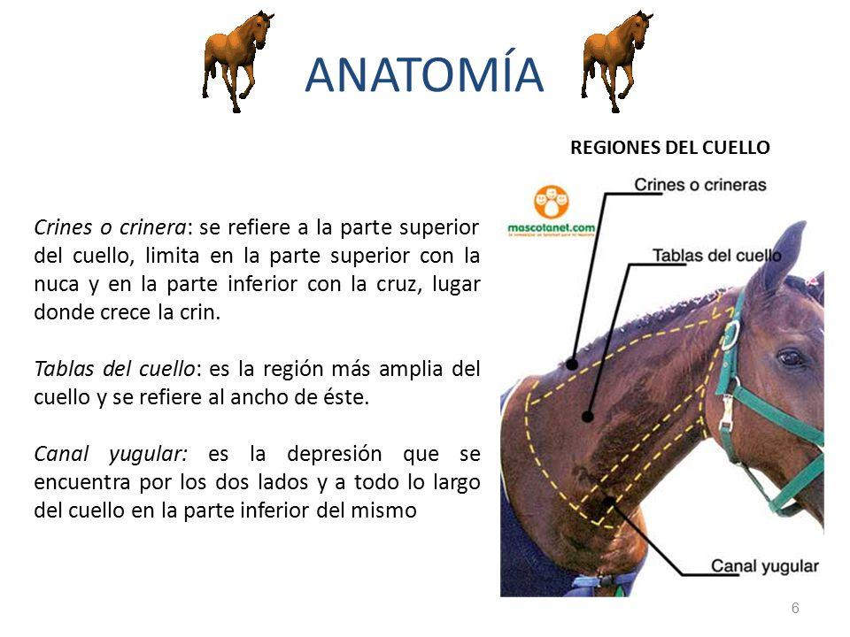 Perfecto Anatomía Del Cuello Del Caballo Motivo - Anatomía de Las ...